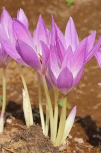 イヌサフラン開花