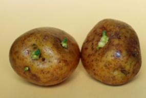 2.ジャガイモとソラニン