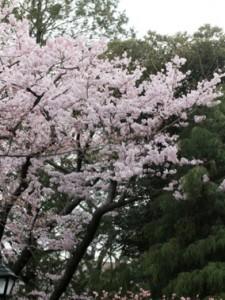 3.桜 第1話