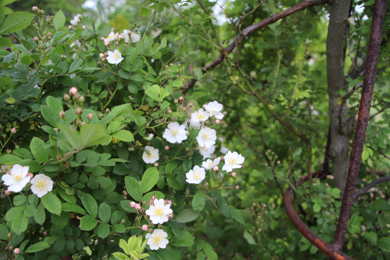 バラ科の薬用植物