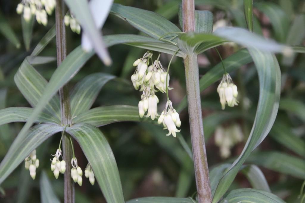 クルマバナルコユリ花序